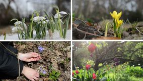 Snowdrop saffron violet and tulip flowers. Video collage. Snowdrop in snow, yellow saffron, violet pickup and tulip flowers in rain. First spring blooms. Montage stock video footage