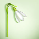Snowdrop with a shadow Stock Photos