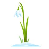 Snowdrop. Single snowdrop in snow, first spring flowers, isolated Royalty Free Stock Photo