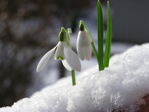 Snowdrop in snow royalty free stock photography