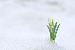 Snowdrop and Snow Royalty Free Stock Image