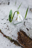 Snowdrop in the snow Royalty Free Stock Photography