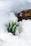 Snowdrop in snow Stock Photo