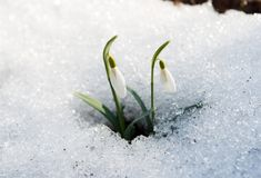Snowdrop in the snow in early spring Stock Photos