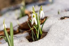 Snowdrop in the snow in early spring Stock Photography