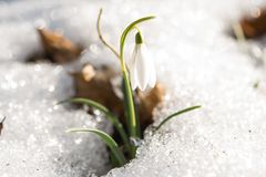 Snowdrop in the snow in early spring Stock Images