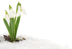 Snowdrop and Snow Stock Photos