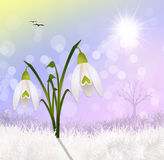Snowdrop in the snow. Illustration of snowdrop in the snow Stock Images