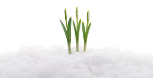 Snowdrop and snow. Royalty Free Stock Images