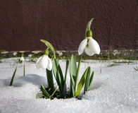 Snowdrop in the snow Stock Image