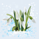 Snowdrop in snow, vector illustration Stock Photography