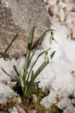 Snowdrop. S in springtime with snow Stock Image