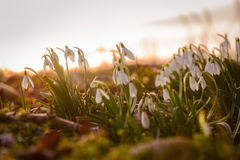 Snowdrop in spring Royalty Free Stock Photos