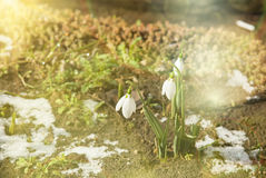 Snowdrop spring flower with snow Stock Photography