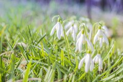 Snowdrop spring flowers. Delicate Snowdrop flower is one of the spring symbols telling us winter is leaving and we have warmer. Times ahead. Fresh green well royalty free stock photography