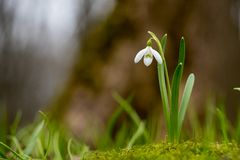 Snowdrop or common snowdrop Galanthus nivalis flowers royalty free stock photography