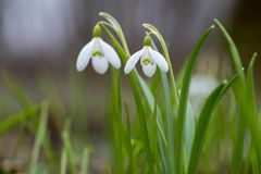 Snowdrop or common snowdrop Galanthus nivalis flowers stock photography