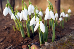 Snowdrop spring flowers. Snowdrop forest Royalty Free Stock Image