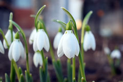 Snowdrop spring flowers. Snowdrop forest Stock Photography