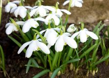 Snowdrop spring flowers. White Galanthus at spring Royalty Free Stock Photography