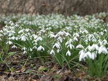Snowdrop spring flowers, spring symbols. Countryside Royalty Free Stock Photo