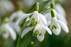Snowdrop in spring. On a meadow stock photo