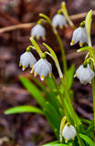 Snowdrop in the spring Stock Photos