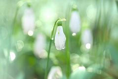 Snowdrop- spring white flower Royalty Free Stock Photo