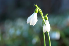 Snowdrop- spring white flower royalty free stock images