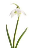 Snowdrop- spring white flower (Galanthus nivalis) Stock Photography