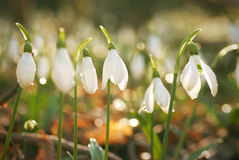 Snowdrop- spring white flower Stock Photos