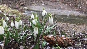 Snowdrop in springtime stock video