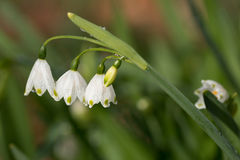 Snowdrop stem with three flowers on blurry background Stock Image