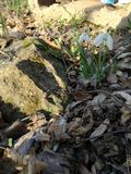 Snowdrop, stone, leaves and grass stock images