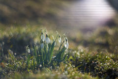 Snowdrop Royalty Free Stock Photo
