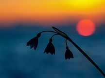 Snowdrop in sunset light Royalty Free Stock Photos