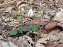Snowdrop temprano en el bosque Foto de archivo libre de regalías