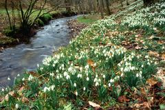 Snowdrop Valley, Exmoor, England. Snowdrops in England Royalty Free Stock Images