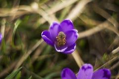 Snowdrop violeta con la abeja Fotos de archivo