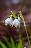 Snowdrop and watter drops stock images