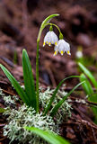 Snowdrop and watter drops royalty free stock photo