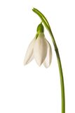 Snowdrop on white Royalty Free Stock Photo