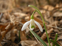 Snowdrop. White spring flower in the forest Royalty Free Stock Photography
