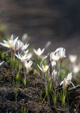 Snowdrop. a widely cultivated bulbous European plant that bears  drooping white flowers during the late winter. Snowdrop. a widely cultivated bulbous European Royalty Free Stock Image