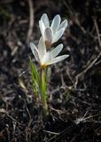 Snowdrop. a widely cultivated bulbous European plant that bears  drooping white flowers during the late winter. Snowdrop. a widely cultivated bulbous European Stock Images
