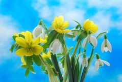 Snowdrop and winter aconite Stock Image