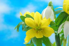 Snowdrop and winter aconite Royalty Free Stock Photo