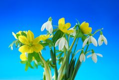 Snowdrop and winter aconite Royalty Free Stock Photography