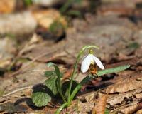 Snowdrop y abeja Fotografía de archivo libre de regalías