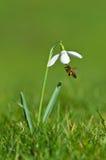Snowdrop y abeja de la miel Imagenes de archivo